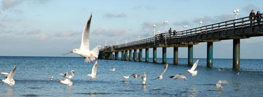 Möwen in der Binzer Bucht mit Seebrücke im Ostseebad Binz auf Rügen